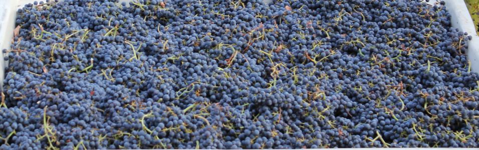 Cabernet Grapes Harvest Banner